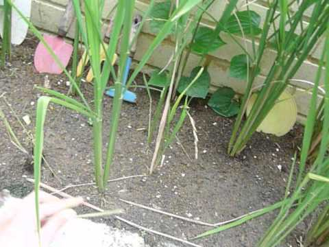 Home-grown paddy (2). How to grow a paddy plant.