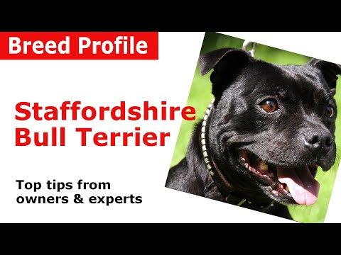 Staffordshire Bull Terrier Dog Breed Guide