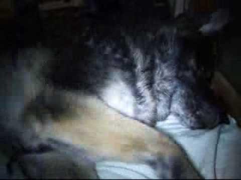 Dog having epileptic fit - secondary generalisation seizure - grand mal