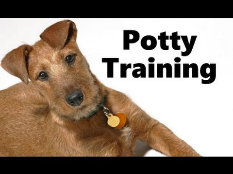 How To Potty Train An Irish Terrier Puppy - Irish Terrier Training Tips - Irish Terrier Puppies