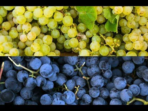 Concord & Niagara Grapes - Mondays with Mary 4/2/18