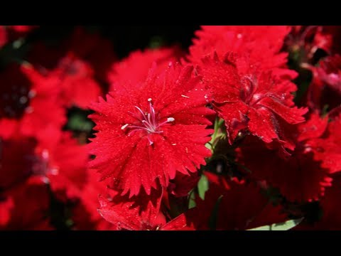 How to make a beautiful and amazing dianthus flower with crepe paper.