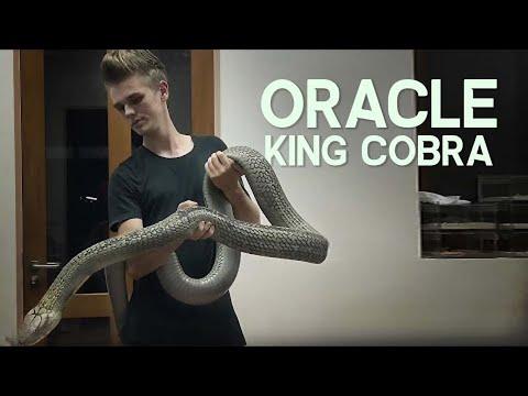 Oracle the huge King Cobra