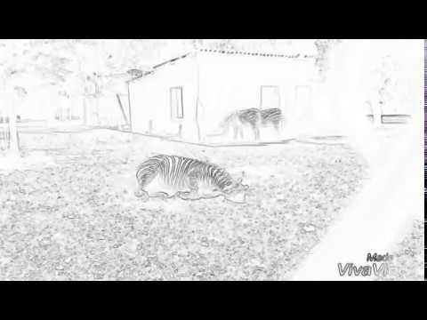 வரிகுதிரை செய்வது என்ன என்று பார்ப்போம்.  Zebra excitement