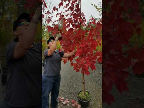 E0706990 Video 5 Pruning October Glory Maple 31468PA
