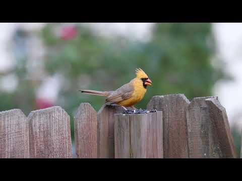 Rare yellow cardinal enjoys evening meal