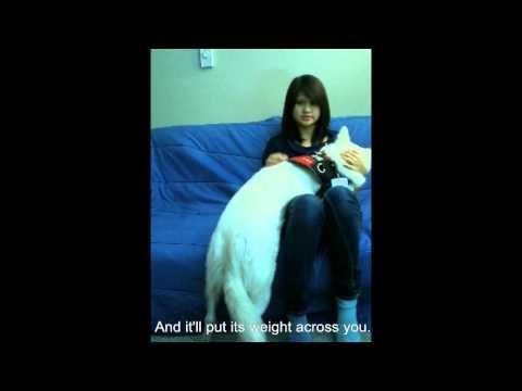 PTSD Psychiatric Service Dog: Trained Tasks Demonstration