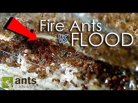 FIRE ANTS vs FLOOD!   What Happens to Ants When It Rains?