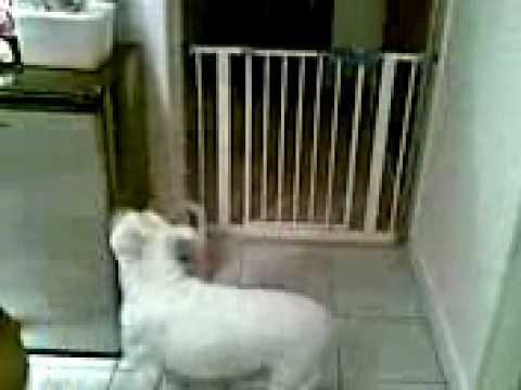 Dog jumps over gate