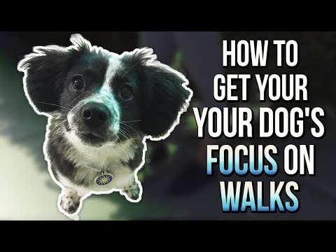 HOW TO GET YOUR DOG'S FOCUS ON WALKS