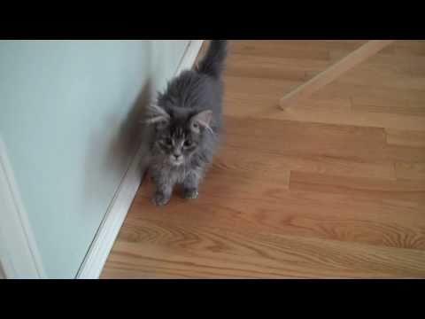 KAAP kitten will be a great mouser