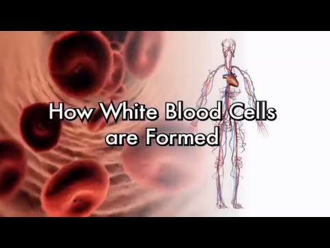How White Blood Cells Are Formed  Neutrophils