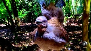 What Makes the Lyrebird Nature