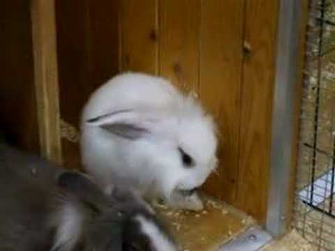 Bunny cleaning its ear