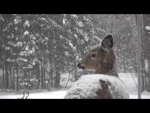 February 11, 2018 - Deer Eating Bird Seed