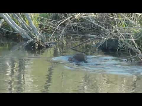 Beaver or Muskrat at G. Ross Lord Dam, Toronto