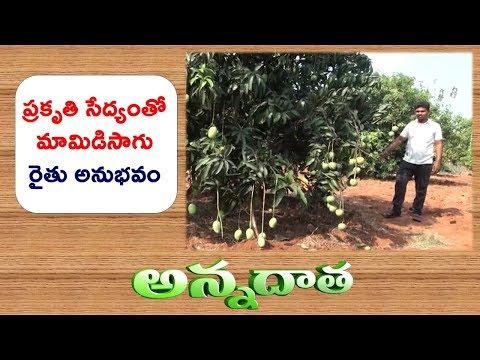 Natural Farming | Top Worked Mango Yeilds Good Results | Krishna Farmer || ETV Annadata