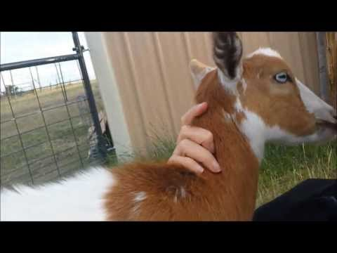 Hilarious Baby Goat Runs When She is Called a Cuckoo!