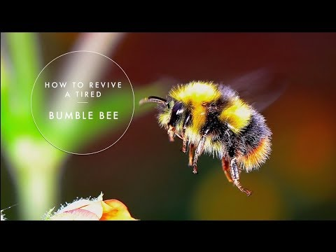 How to revive a tired bumble bee  - filmed with a macro lens