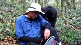 Amazing Gorilla Encounter! Nick's Interaction with a Mountain Gorilla from the Nshongi Family