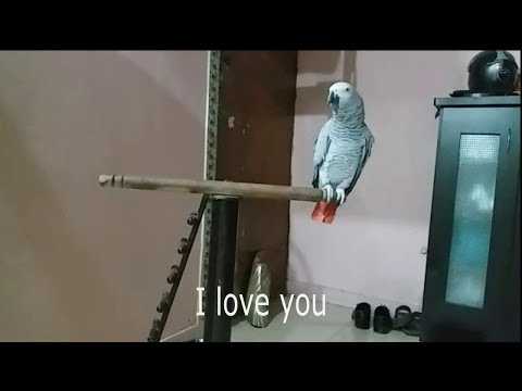 Best talking parrot || grey parrot talking PBI - youtube