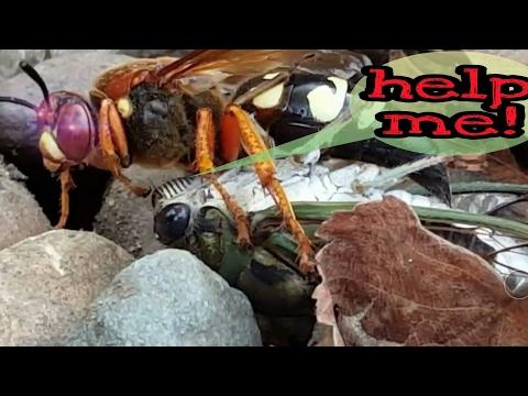 Cicada killer wasp stinging a cicada (laying eggs)