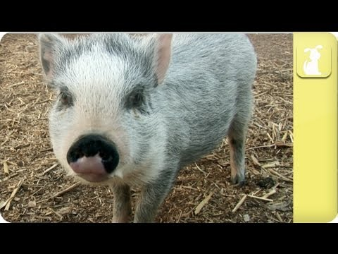 How to keep my pig healthy - My Pet Pig