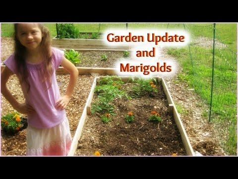 Garden Update and Marigolds