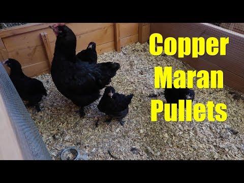 Copper Maran Pullets (chickens)