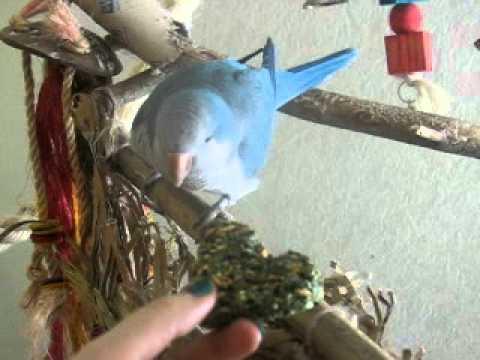 Taming a quaker parrot Roki