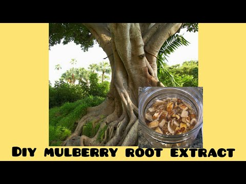 DIY MULLBERRY ROOT EXTRACT FOR LONG LASTING BRIGHTER FLAWLESS SILKY SMOOTH SKIN.