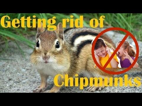 How to get Rid of Chipmunks, NOT YOUR CHILDREN!! | Master of Everything |