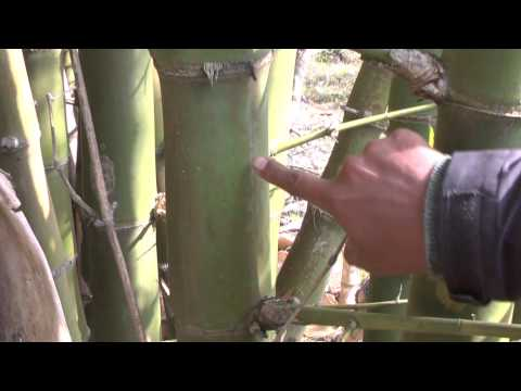 Chapter 1: Bamboo Selection and Harvesting