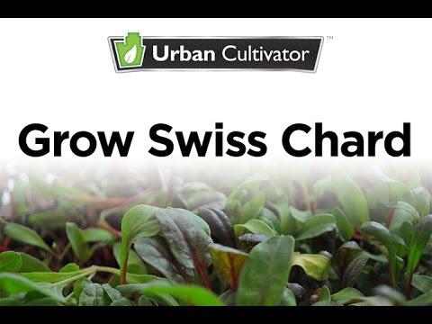 Grow Micro Swiss Chard