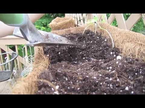 MZ1 - How to plant Morning Glories in a hanging basket on a deck