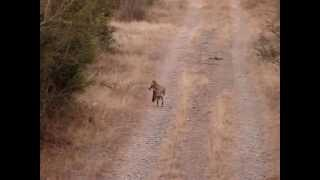 Coyote Hunting Compilation