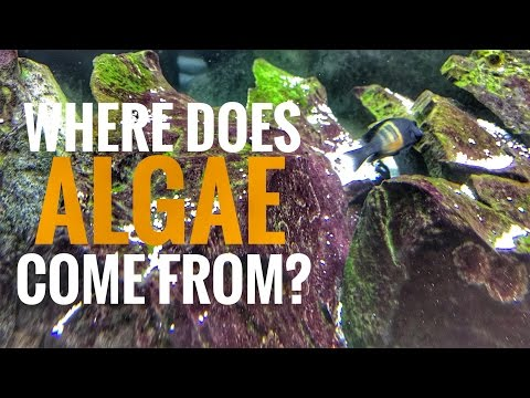 Where Does Algae Come From?