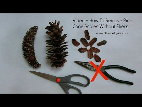 Remove Pine Cone Scales Easy Method