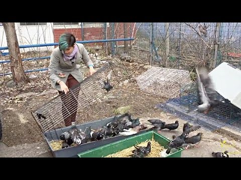 Almost 200 Pigeons Rescued From Man's Home