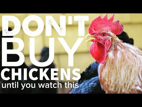 DON'T BUY CHICKENS Until You Watch This...