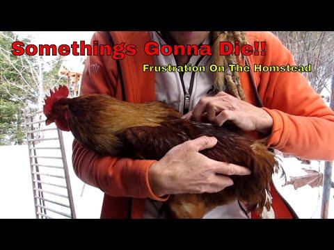 Starry Vlog: SOMETHINGS GONNA DIE! Rooster ALMOST KILLED