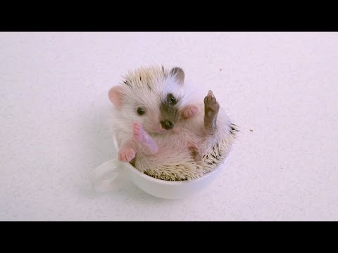 African Pygmy Hedgehog Baby in a Cup