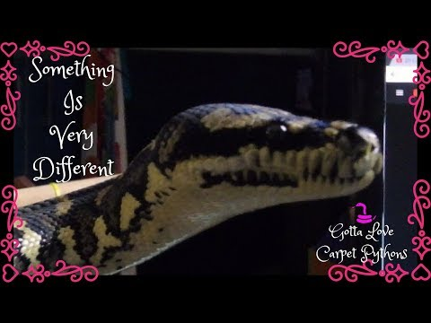 Jungle Carpet Python Lily Knows There Is Something Different In The Room