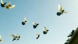 tumbler pigeon flying and rollers - PakVim net HD Vdieos Portal