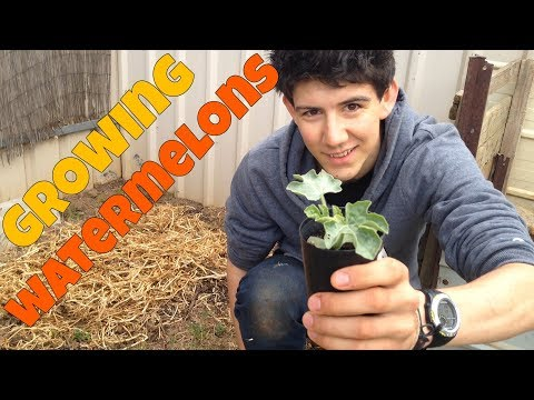 How To Grow Watermelons | Sugar Baby Watermelon