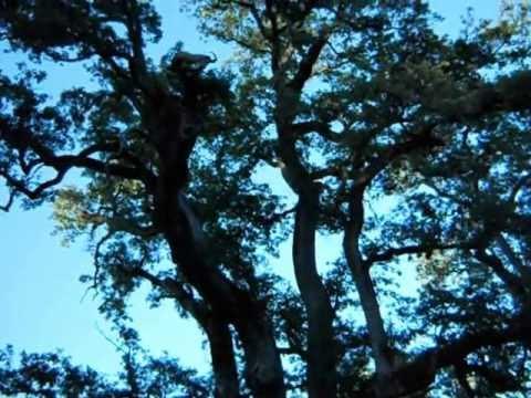 364 yr old White Oak tree 6 25 2012