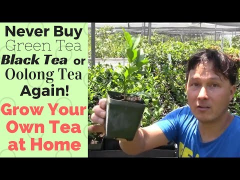 Never Buy Green, Black or Oolong Tea Again! How to Grow Your Own Tea at Home