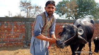 How To People  Care Of Animals in Punjab  Pakistan  پنجاب میں لوگ جانوروں کا خیال کسے رکھتے ہیں