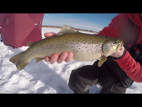 Big Brown Trout Sight Ice Fishing