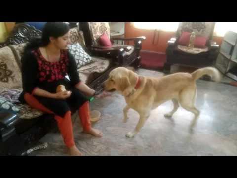 Labrador dog training ,Tarikere, Chikamagalur, karnataka